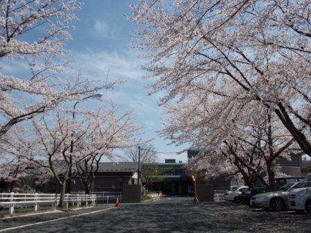 桜の風景①