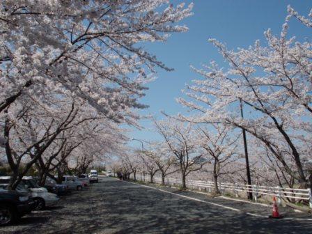 桜の風景②